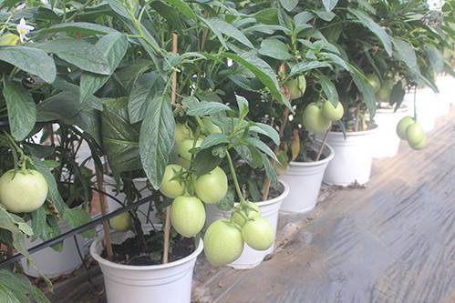 Đến đúng Tết, những trái cà chua xanh này sẽ đổi sang màu đỏ. Ảnh: Quốc Dũng