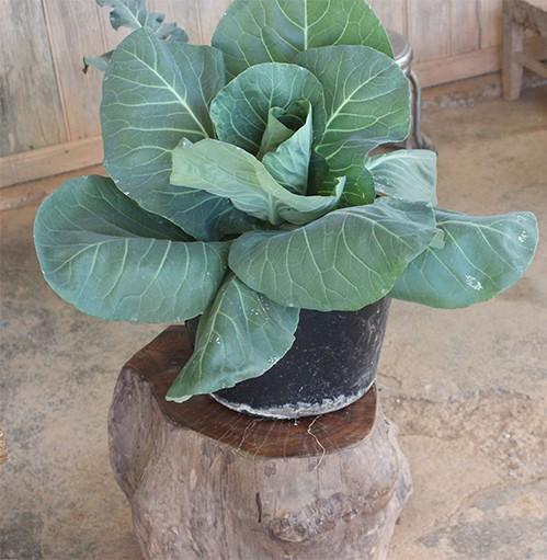 Một cây rau trồng trong chậu có giá cao gấp 10 lần rau trồng đại trà. Ảnh: Quốc Dũng