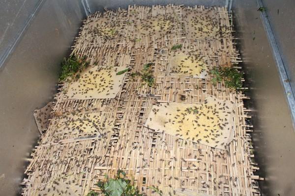 Hiện mỗi tháng Thuận xuất bán ra thị trường 70-80 kg dế thành phẩm