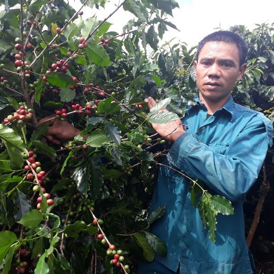 Anh Toản trồng cà phê từ năm 1999