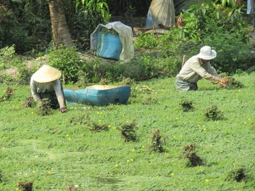 Gia đình ông Phan Văn Sành đang cắt rau nhút để giao cho thương lái.