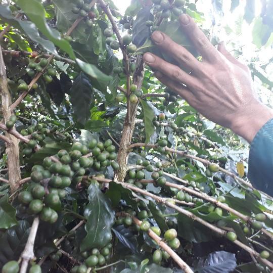 Nhờ trồng cà phê mà gia đình anh Toản có của ăn, của để