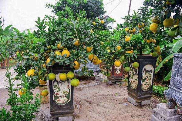 ' Còn một tháng nữa mới đến Tết Âm lịch Kỷ Hợi 2019 nhưng những ngày này, bưởi bonsai, bưởi cảnh... chơi Tết đã bắt đầu nhộn nhịp được người tiêu dùng săn đón tại thị trấn Văn Giang (Hưng Yên). '