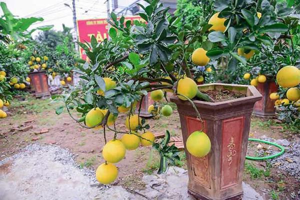 ' Bưởi bonsai cỡ nhỏ được trồng trong chậu có hình dáng thấp, cây và quả luôn được chăm sóc tươi tốt, đẹp mắt. '