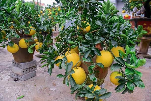 ' Mỗi cây có khoảng 15 đến 20 quả, hầu hết quả này là bưởi ghép. '