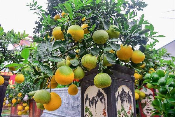 ' Tính đến thời điểm này, anh Hoàng Đình Chính ở huyện Văn Giang (Hưng Yên) đã cung cấp ra thị trường khoảng hơn 200 cây bưởi bonsai cỡ nhỏ. '