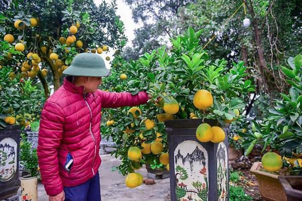 ' Anh Chính cho biết: Cần phải có kinh nghiệm và kỹ thuật để có thể chăm sóc một cây bưởi bonsai cỡ nhỏ lên chậu và ra nhiều quả. Với nhiều khâu chăm sóc, bưởi bonsai cỡ nhỏ có độ tuổi từ 1 đến 3 năm được chăm sóc đặc biệt từ nhỏ. '