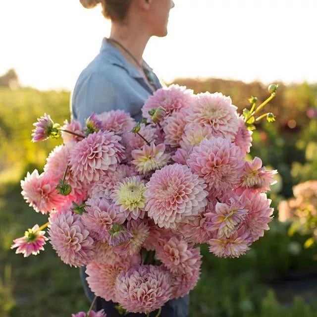 Cô dành tình yêu đặc biệt cho hoa thược dược.