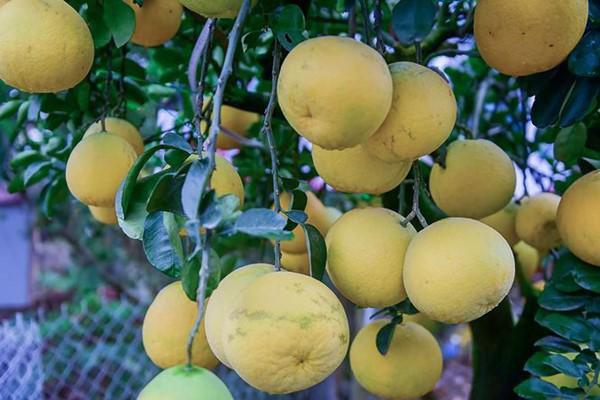 ' Mỗi cây có khoảng 15 đến 20 quả, kích thước quả nhỏ, vừa là quả thật, một số là quả ghép. '
