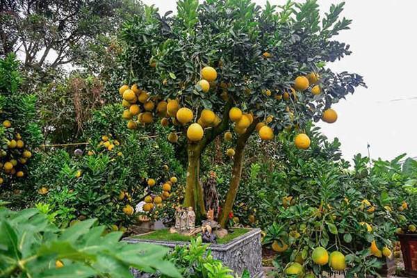 ' Bưởi cảnh mini mang ý nghĩa sum vầy nên được săn đón nhiều trong dịp Tết đến. Các hộ trồng cho biết, đa số các gốc bưởi đẹp đều đã được đặt mua. '
