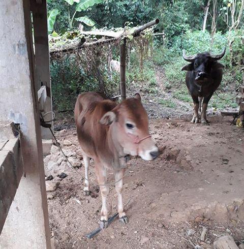 Con bò được định giá 13.250.000 đồng của gia đình anh Vi Văn Mừng ở xã Mường Men (huyện Vân Hồ, tỉnh Sơn La) chỉ to bằng con bê.