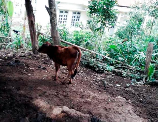 Gia đình anh Vì Văn Đải hụt hẫng vì nhận về bò giống chính sách gầy gò, ốm yếu.