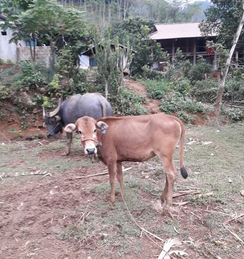 Nhiều hộ nghèo ở huyện Sơn La cho rằng những con bò giống quá bé không thể có giá 11 đến 14 triệu đồng.