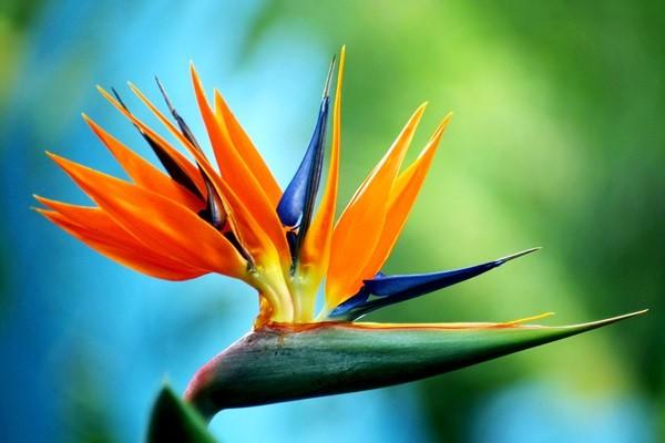 """Loài hoa được mệnh danh """"chim thiên đường"""" này lại chứa rất nhiều chất độc làm hại đường tiêu hóa."""