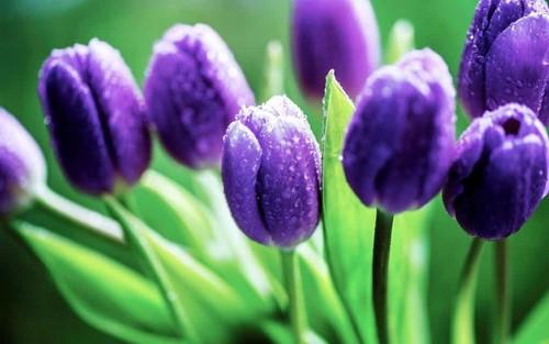 Tuy hoa tuy-lip rất đẹp nhưng củ cây của hoa tuy-lip có chất tulipene. Khi ăn phải sẽ gây chóng mặt, buồn nôn.