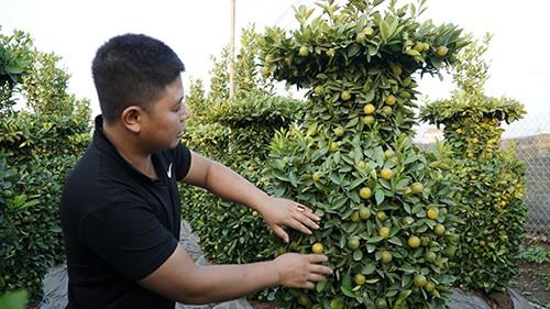 Người trồng quất, đặc biệt là trồng cây to để tạo dáng lộc bình, phải đậy kín để ánh nắng không chạm vào rễ, mưa to không xối đất. Ảnh: VnExpress