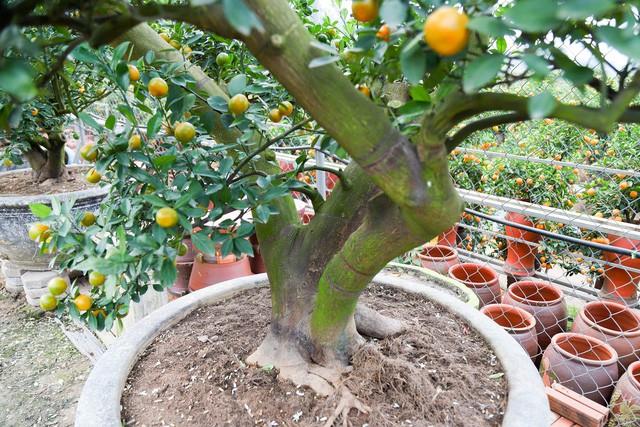Thân cây bưởi Diễn có độ tuổi từ 2 năm đến 10 năm được chọn để ghép cành quất. Ảnh: Dân Trí