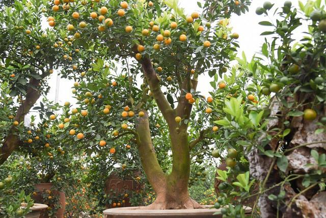 Thân cây bưởi phải uốn éo có thế độc, lạ đẹp, được ưu tiên để cho lên chậu ghép với cành quất. Ảnh: Dân Trí