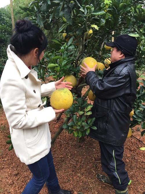 Chiều Xuân cho biết, những trái bưởi nhà chị không quá lớn, chỉ vừa tay nhưng vỏ vàng, ngọt và thơm.