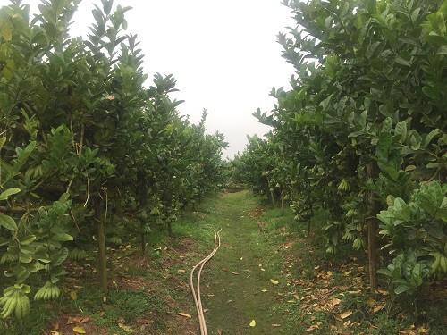Vườn phật thủ có diện tích lớn với hàng trăm gốc cây.