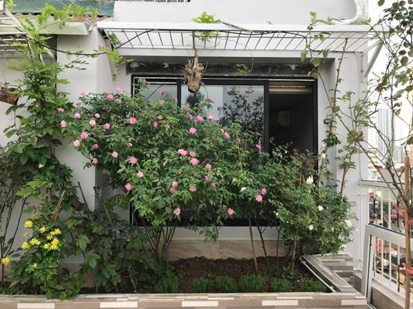 Chị trồng hồng thành từng bụi, đặt trong những bồn kè đá gọn gàng.