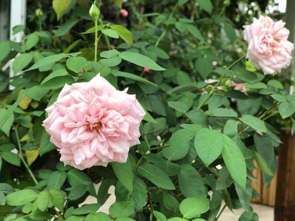 Khu vườn hiện tại được chị trồng khoảng 90 gốc hồng.