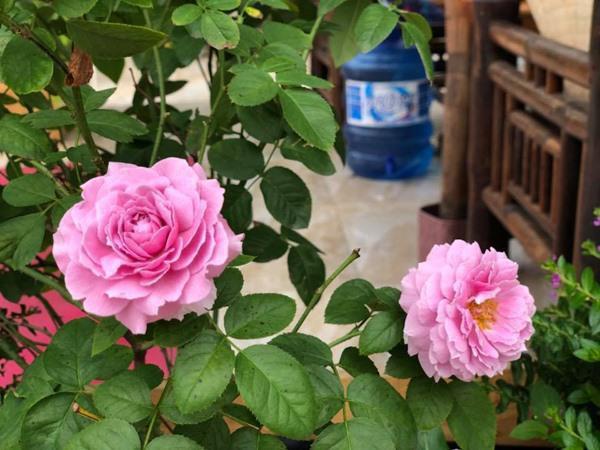 Vườn hồng với đủ loại khiến bao người mơ ước.