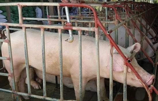 Giá lợn cao kỷ lục và tiếp tục tăng, Việt Nam có nhập khẩu thịt? - Ảnh 2.