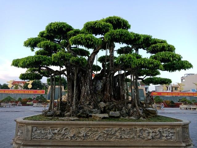 Cây sanh Việt cổ, đại gia Nhật trả 20 triệu USD vẫn không muốn bán - Ảnh 1.