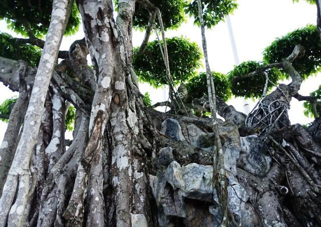 Cây sanh Việt cổ, đại gia Nhật trả 20 triệu USD vẫn không muốn bán - Ảnh 3.