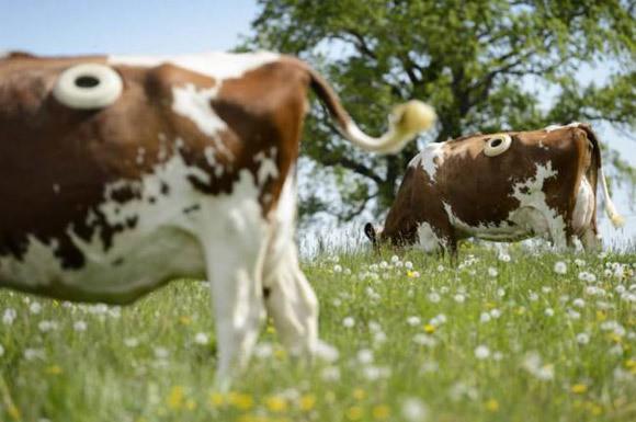 Trang trại kỳ lạ, đục lỗ trên thân các con bò để sống khoẻ hơn - Ảnh 1.