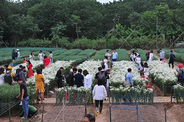 Giới trẻ chen chân chụp ảnh tại vườn cúc họa mi nở sớm nhất Hà Nội - Ảnh 1.