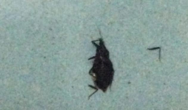 Sốc phản vệ nghi bị loài bọ xít hút máu người đốt - Ảnh 2.