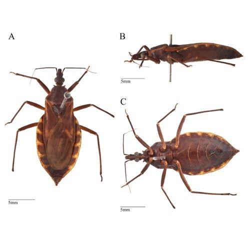 Sốc phản vệ nghi bị loài bọ xít hút máu người đốt - Ảnh 3.