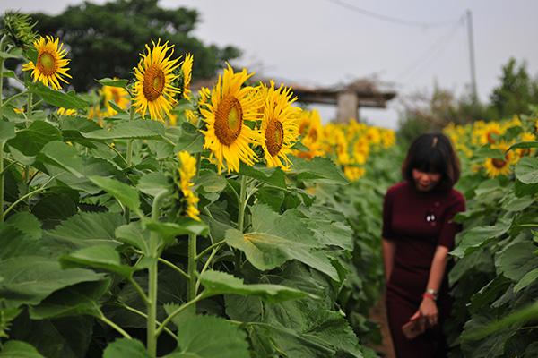 Những vườn hoa hướng dương đang nở rộ lại trở thành điểm check in mới của các chị em ở Hà Nội - Ảnh 2.