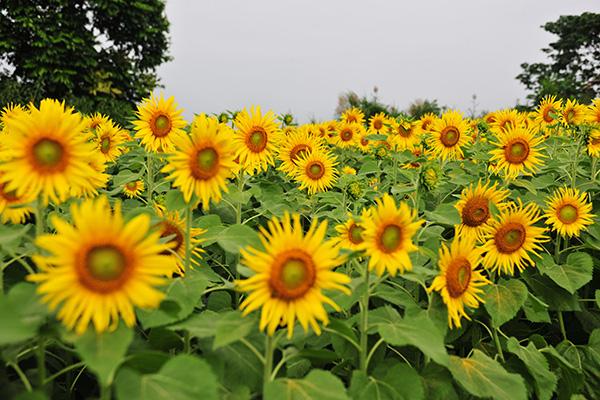 Những vườn hoa hướng dương đang nở rộ lại trở thành điểm check in mới của các chị em ở Hà Nội - Ảnh 3.
