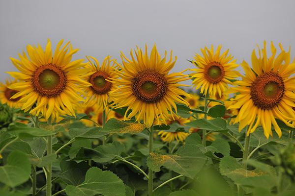 Những vườn hoa hướng dương đang nở rộ lại trở thành điểm check in mới của các chị em ở Hà Nội - Ảnh 7.