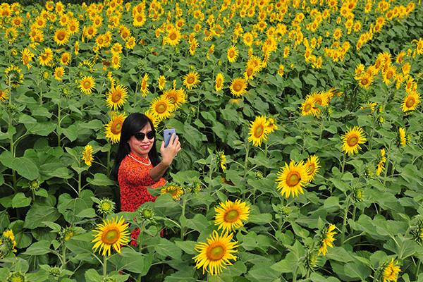 Những vườn hoa hướng dương đang nở rộ lại trở thành điểm check in mới của các chị em ở Hà Nội - Ảnh 4.