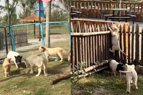 Lợn vào chuồng làm loạn, sư tử hoảng hốt chạy trốn - Ảnh 1.