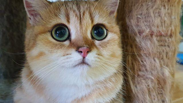 """Bỏ 160 triệu đồng mua mèo Anh, đi ngoài đường ai cũng tưởng mèo """"ta""""  - Ảnh 1."""
