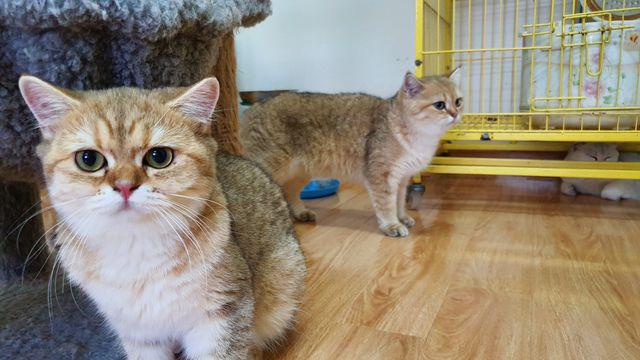 """Bỏ 160 triệu đồng mua mèo Anh, đi ngoài đường ai cũng tưởng mèo """"ta""""  - Ảnh 3."""
