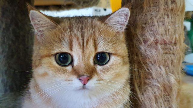 """Bỏ 160 triệu đồng mua mèo Anh, đi ngoài đường ai cũng tưởng mèo """"ta""""  - Ảnh 4."""