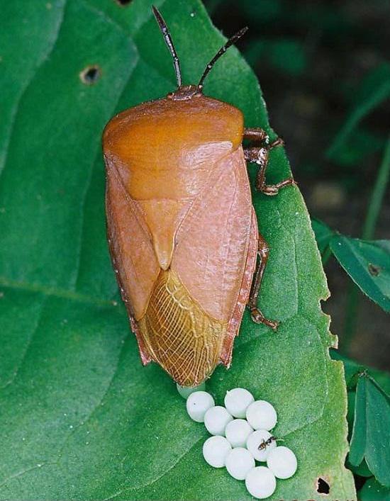 Thấy những hạt nhỏ tý này trên quần áo hay bám trên tường nhà thì phải loại bỏ ngay lập tức - Ảnh 4.
