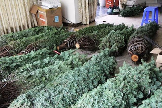 Thông tươi chơi Noel, 30 triệu/cây trưng mấy hôm rồi làm củi - Ảnh 2.