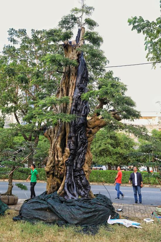 Đây là năm đầu tiên anh Phong đưa cây me lên tham gia hội chợ hoa xuân. Anh cho biết phải dùng xe cẩu 12 tấn để vận chuyển cây từ Tiền Giang lên.