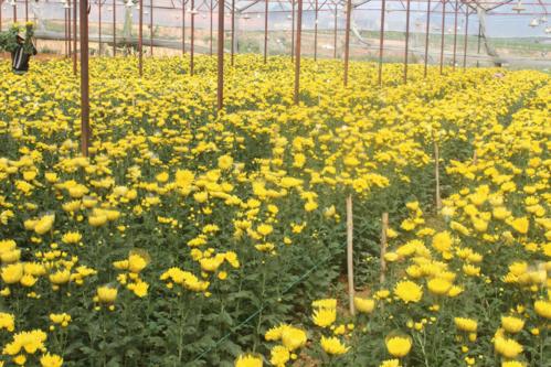 Một vườn hoa cúc ở Đà Lạt nở sớm.
