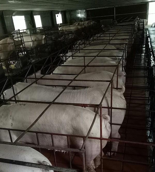 Khu chăn nuôi lợn của gia đình anh Minh được thiết kế khoa học, hiện đại.
