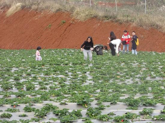 Nhiều khách du lịch đến tham quan, trải nghiệm và thưởng thức dâu tây ngay tại vườn của anh Lực.