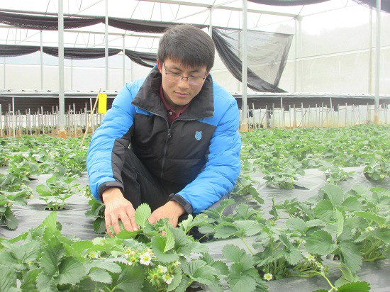 Anh Lực đang theo dõi quá trình phát triển của vườn dâu tây.