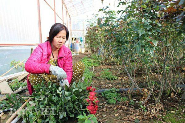 Bà Bốn bó những cành hoa mới cắt trong vườn, chuẩn bị giao cho vựa. Ảnh: Văn Long